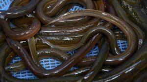 Mængden af åle-yngel har været pænt stigende de sidste 10 år